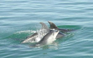 Dolphins, Bay of Islands New Zealand