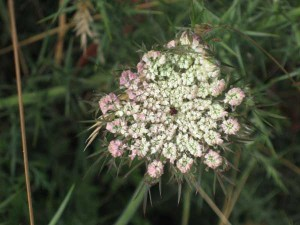 Queen Annes Lace by the sea
